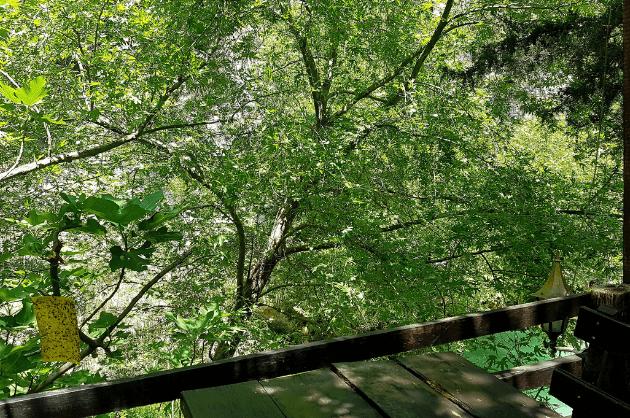 Buja-zöld